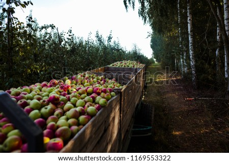 Wooden crates full of apples #1169553322