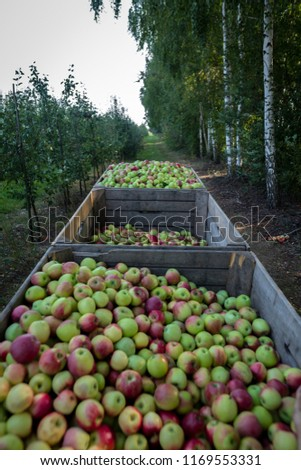Wooden crates full of apples #1169553331