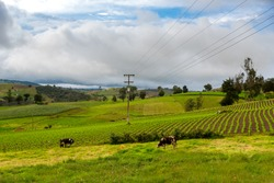Wooden electric poles running through a rural landscape where there are cows and crops. Boyacá. Colombia.