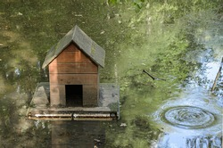 Wooden floating house for ducks on the pond. A pond covered with green duckweed.  View nature environment beautiful peaceful walk site space. Observation and care for wild birds.