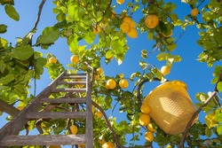 Wooden ladder and a yellow pail on a citrus grove during harvest time in Italy