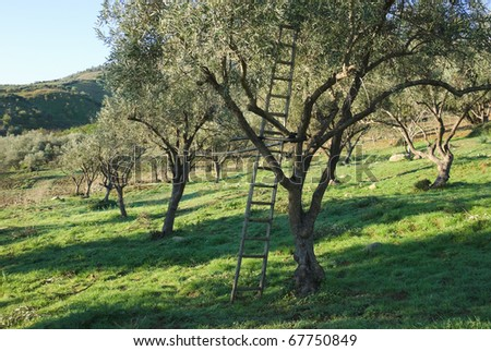 wooden ladder leaning against an olive tree
