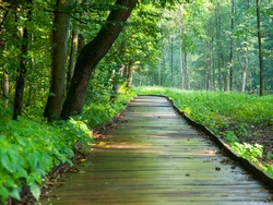 Wooden path in forest after rain, Bialowieza, Poland