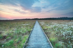 wooden path on marsh with cotton grass in summer