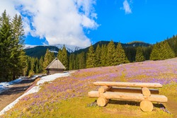 Wooden picnic table and crocuses in Chocholowska valley in spring, Tatra Mountains, Poland