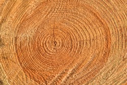 Wooden structure. Cross sectional cut end of log showing the pattern and texture created by the growth rings. Section through trunk of the wood. Annual ring on a sawn through tree. Soft focus
