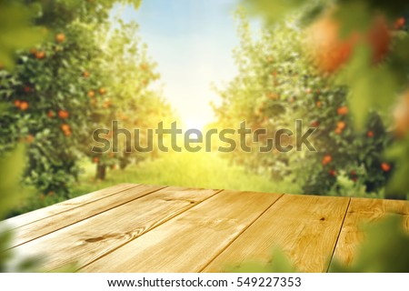 wooden table place of free space for your decoration and orange trees with fruits in sun light  #549227353