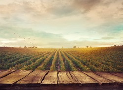 Wooden table. Spring design with vineyard and empty display. Space for your montage. Autumn grapes harvest