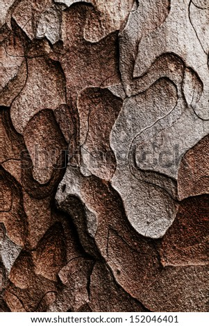 Wooden texture. Crimean pine tree, close-up view.
