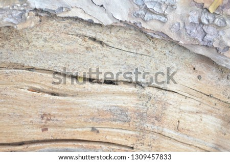 wooden texture of a big pne tree pulled down and cut into pieces with an electric hacksaw after being attacked by a thunderstorm