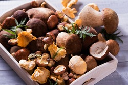 Wooden tray with a variety of raw mushrooms on a light table (porcini mushrooms, chanterelles, boletus)