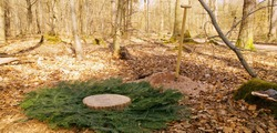 Woodland. burial. Cemetery. Empty Tomb, preparation of a natural burial grave, forest burial. newly built grave covered with branches of fir and a slice of wood, tree trunk. nature burial. Friedwald
