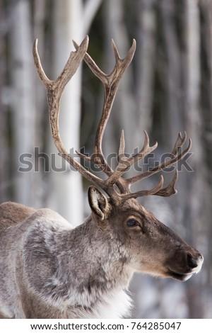 Woodland Caribou in Tagish, Yukon, Canada #764285047