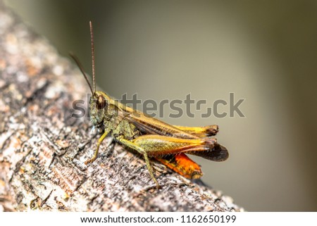 Stock Photo Woodland Grasshopper (Omocestus rufipes) perched on branch. This grasshopper is present in most of Europe, in eastern Palearctic ecozone, in North Africa and in the Near East.
