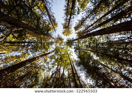 stock photo woodland perspective a low vertical view up the trees deep within a forest in the banff national 522965503 - Каталог - 3d фотообои