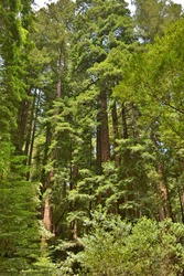 Woodland scene at Muir Woods