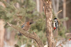Woodpecker and jay bird sitting on the tree, feeding of birds in the city park, a piece of bacon on the pine