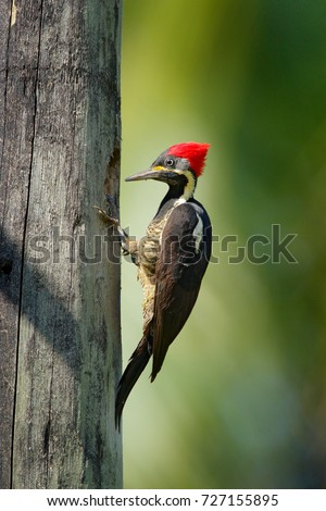 Woodpecker from Costa Rica, Lineated woodpecker, Dryocopus lineatus, sitting on branch with nesting hole, bird in nature habitat, Costa Rica. Birdwatching, South America.