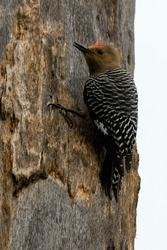 Woodpecker perched on tree in a bird sanctuary in Baja California