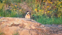 Woodpecker sitting on the stone with colorful lichen. Wild bird in the light of the dawn sun in the wilderness and wild herbs on the background