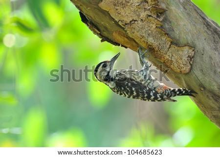 woodpecker, Thailand