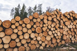 Woodpile fresh cut pine logs at sawmill factory. Big stack of tree trunks at wood production lumber mill. Processing timber material at wood construction warehouse. Chopped firewood stumps. Forestry