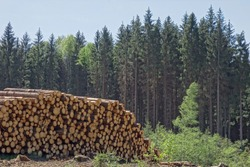 Woodpile of freshly harvested pine logs on a forest road under sunny skies. Trunks of trees cut and stacked in the foreground, forest in the background. Wooden Logs with Forest on Background.