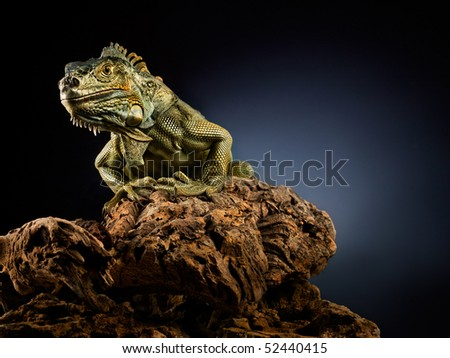 Woody Dragon. Portrait of green iguana on twisted tree branch, black background.