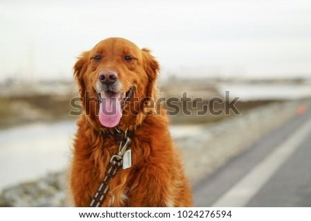 Woogie, the happiest Golden Retriever ever! #1024276594