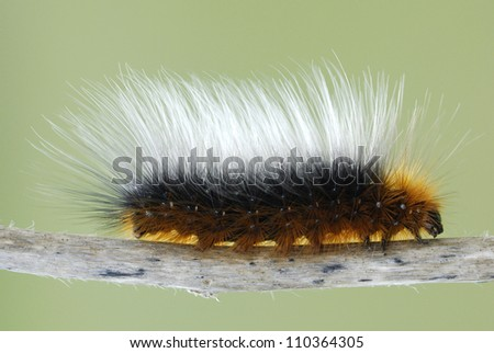 Woolly Bear Caterpillar (Garden Tiger Moth, Arctia caja)