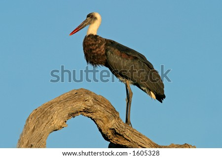 Woolly-necked stork (Ciconia episcopus) perched on a tree, Kruger National Park, South Africa