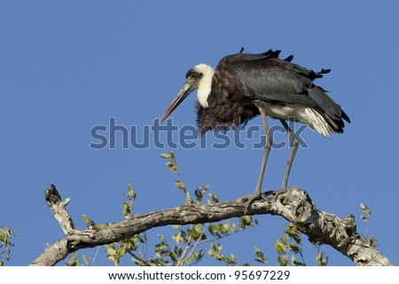 Wooly Necked Stork (Ciconia episcopus) on top of tree in South Africa's Kruger Park
