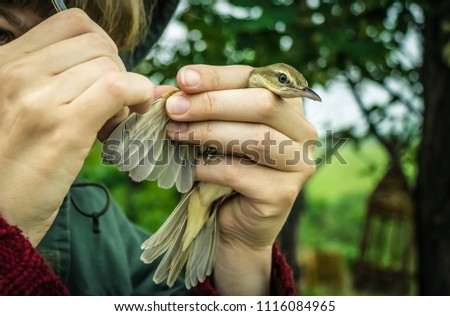 Work of a biologist, zoologist, ornithologist. Studying birds, feather mites, parasites. Inspecting the feathers of a small bird. The background is blurred. Zdjęcia stock ©