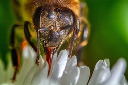 worker bee collecting nectar from white flowers