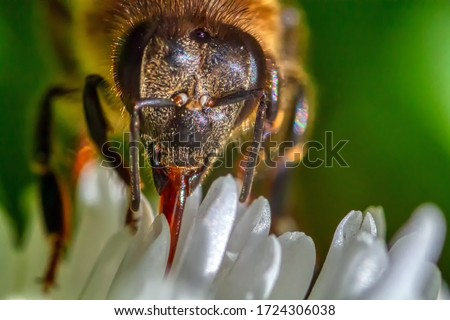 Photo of  worker bee collecting nectar from white flowers