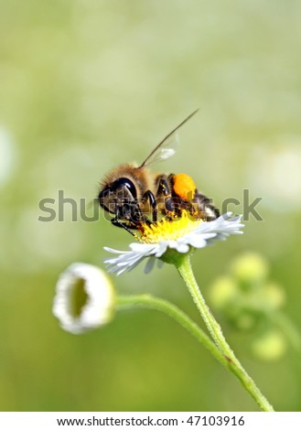 Worker bee with yellow pollen