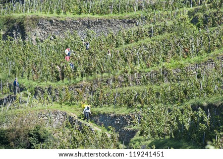 Worker Carries Grapes Down the Mountain