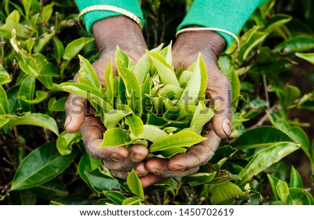 Worker Hands Holding Green Tea Leaves Top View. Farmer Keep Crop Nature Agricultural Farming Organic Product on Fresh Bush Background. Greenery Foliage Farmland Landscape Field Plantation #1450702619