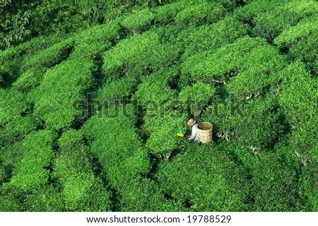 worker Harvesting tea, top view