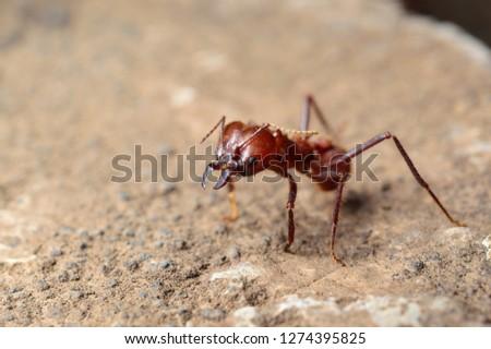 Worker of the tropical defoliating ants of America