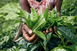 Worker on tea planation. Woman showing tea leaves in palm, Sri Lanka