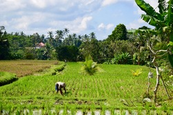 Worker on the rice paddy, Bali, Indonesia
