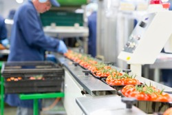 Worker packing ripe red vine tomatoes on production line in a food processing plant