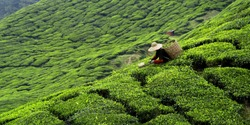 Worker picking tea leaves in tea plantation
