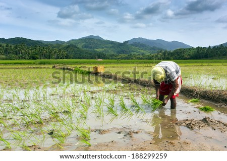 Worker planting rice in the field Philippines