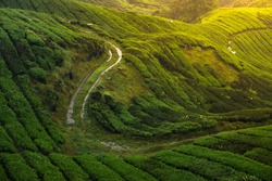 Worker road during harvesting tea leaves in BOH Tea Farm