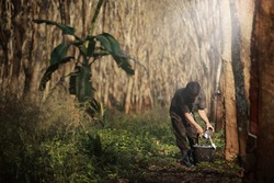 Worker tapping milk latex from  para rubber tree,plantation in Southeast Asia.