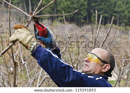 worker with pneumatic shears pruning cherry