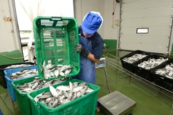 workers are sorting mackerel fish in baskets