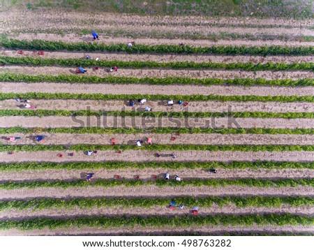 workers harvesting in vineyard  ...